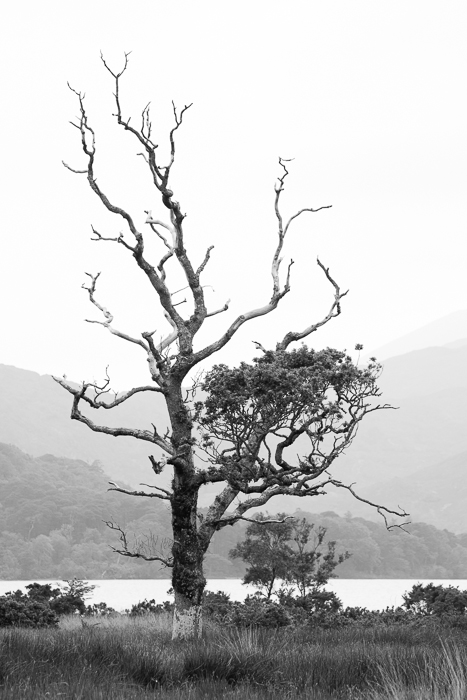 tree bare killarney