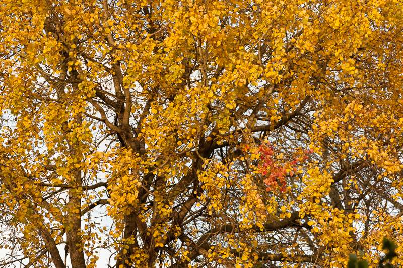 yellow red tree