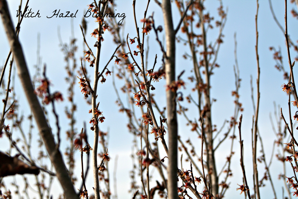 Blooming witch hazel on front property