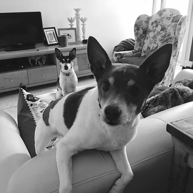 Oh hi there... Are you two trying to tell me something? #dogsoflouisiana #ratterrier #terriersofinstagram #doglife #puppylove