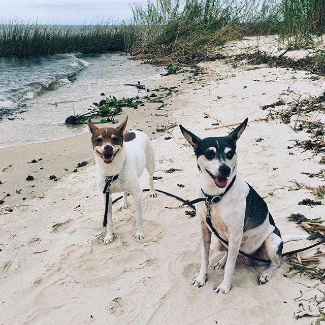 Beach trip with Theadore & Ellanore #beach #ratterrier #louisiana #nature