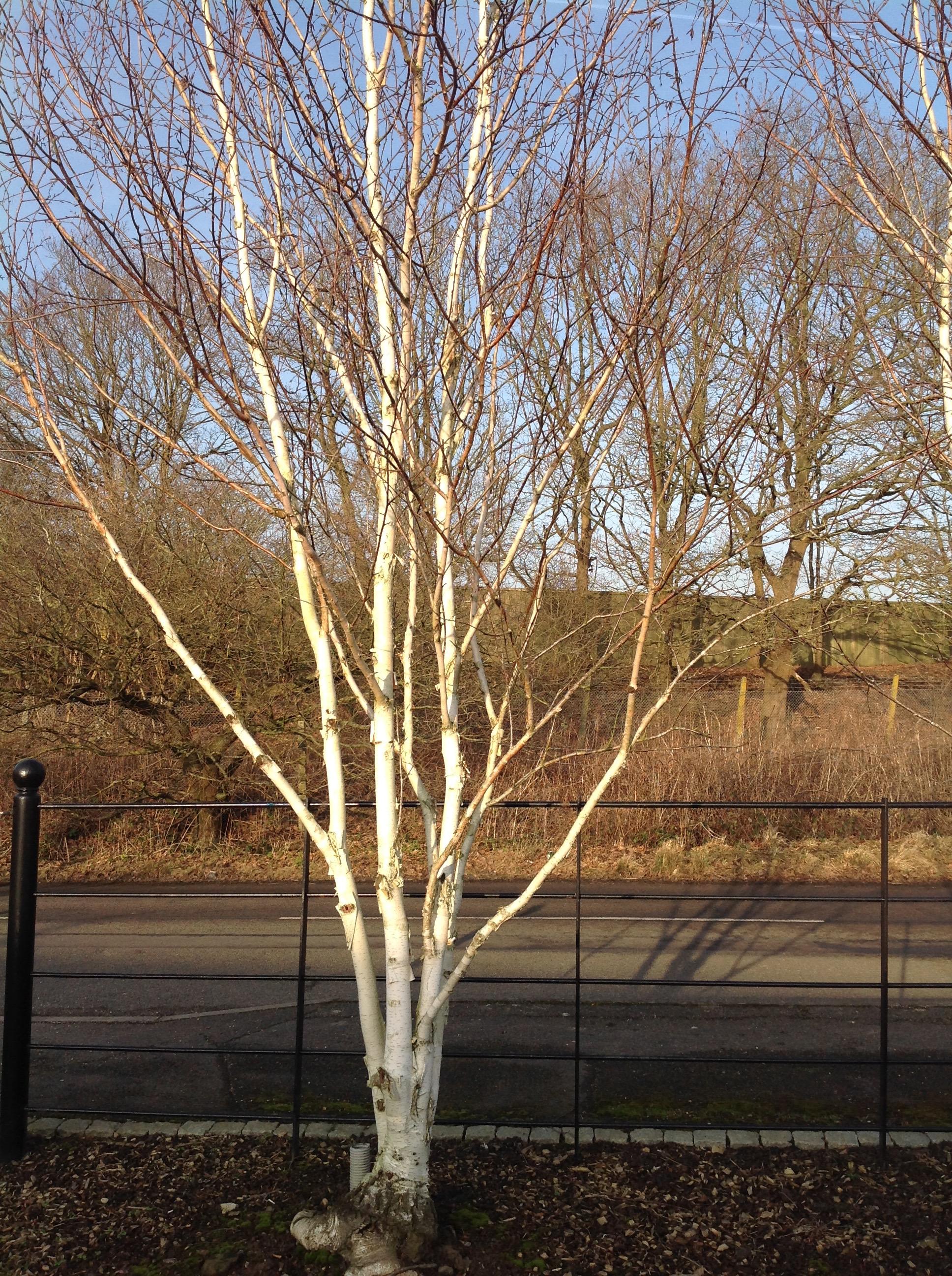 DHB Trees 2.jpg