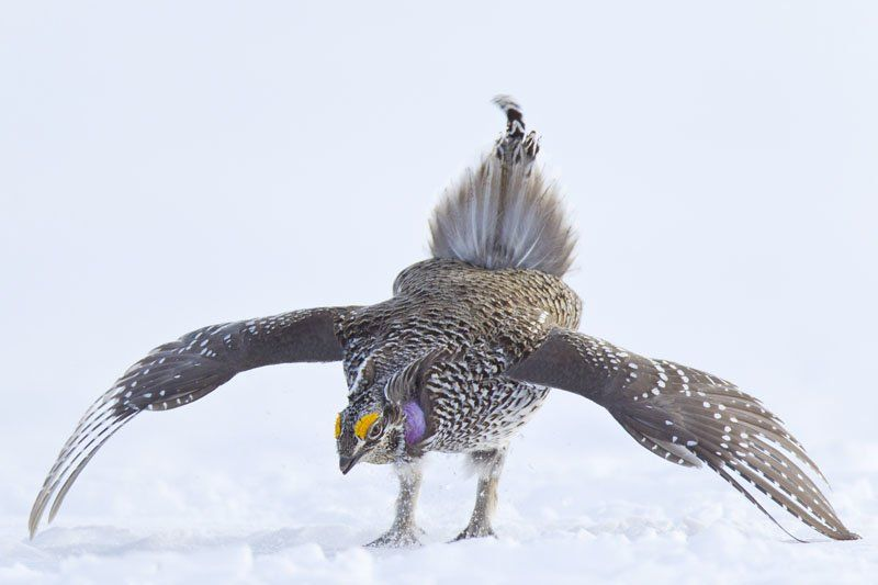 Columbian Shapr-tailed Grouse -- Noppadol Paothong small.jpg
