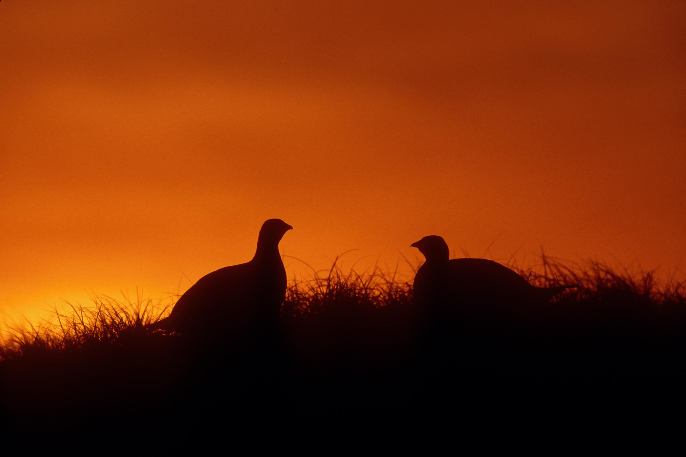 Prairie Sharp-tailed Grouse by Baetsen.
