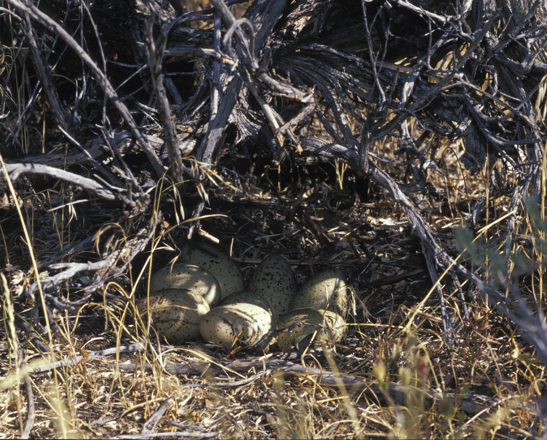 Greater Sage Grouse Nest by Parchman.