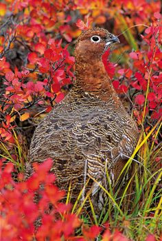 Willow ptarmigan in summer plumage; Mangelsen