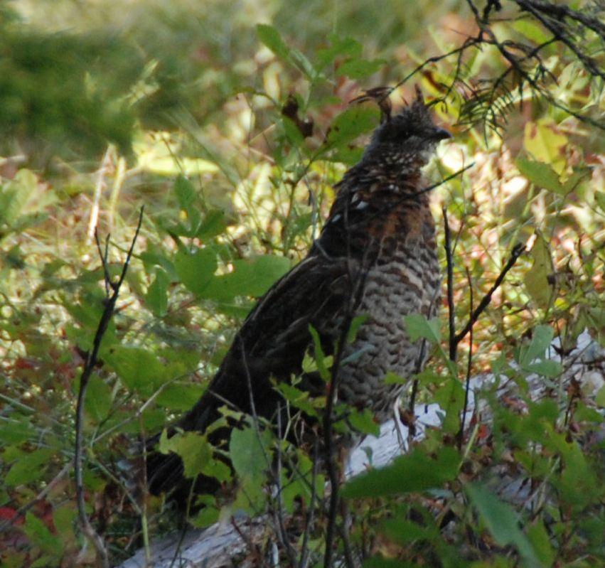 Ruffed Grouse by Robin Tomasi.