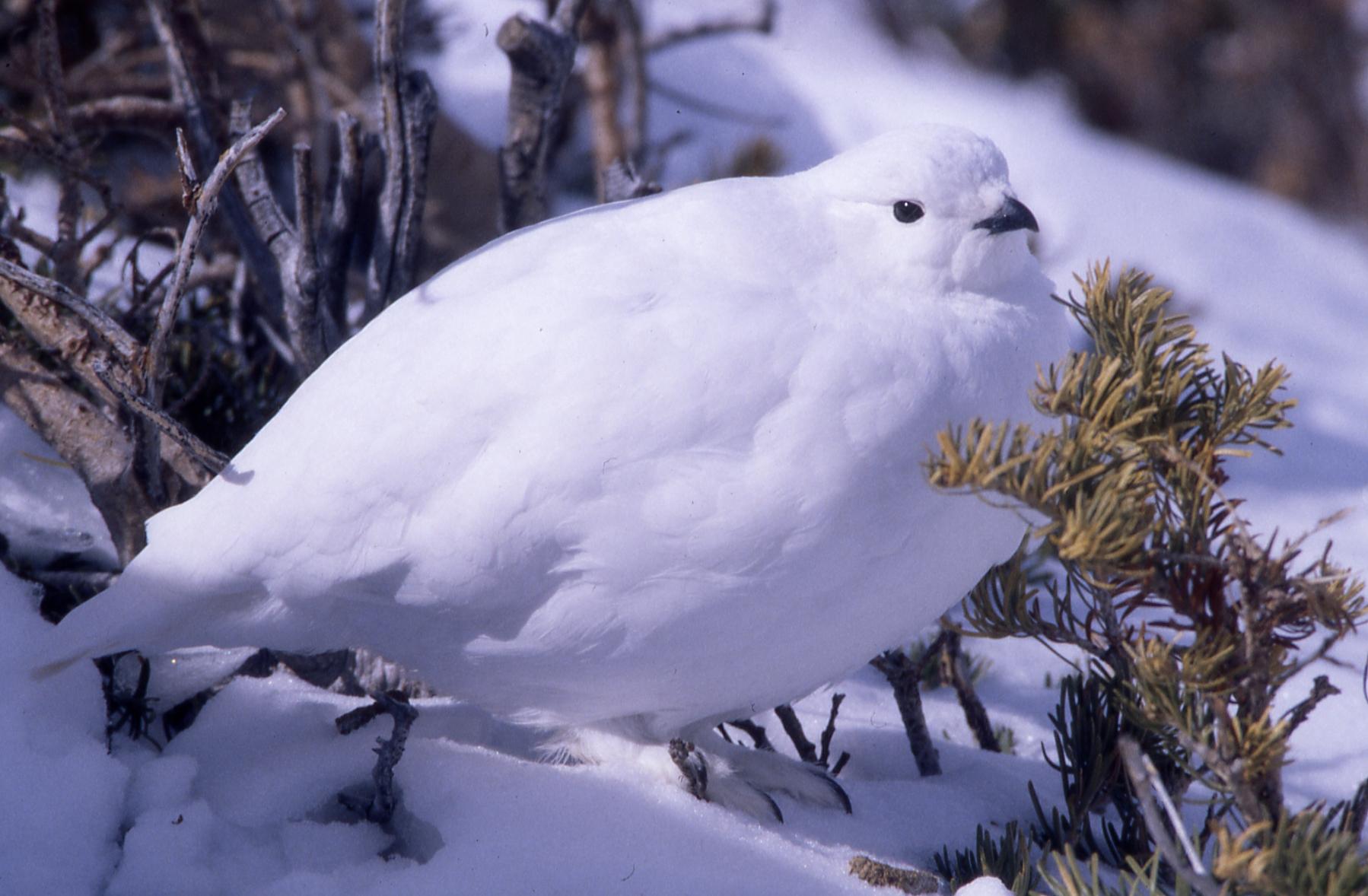 Winter White-tailed Ptarmigan; by Richard Wilberforce.
