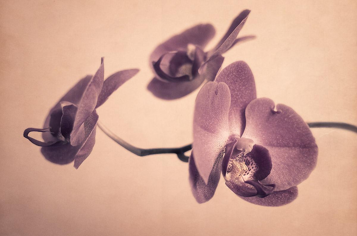 Mikko-Lagerstedt-Orchid.jpg