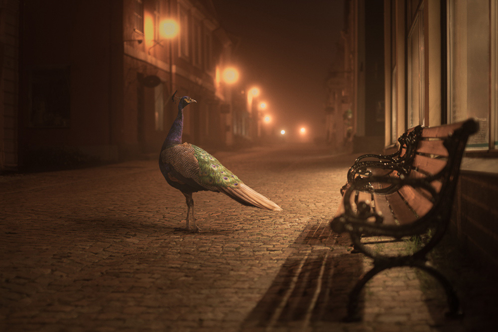 Mikko Lagerstedt - Peacock - 2013 - Porvoo, Finland -  Night Animals