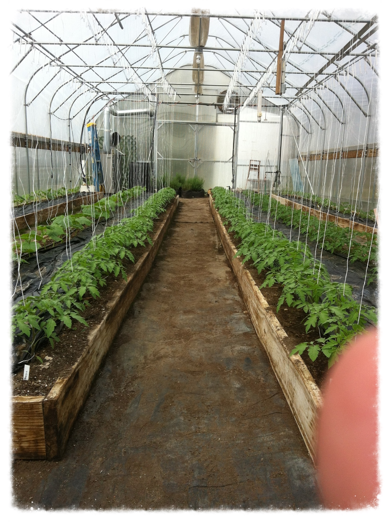 Our greenhouse with tomatoes getting ready.