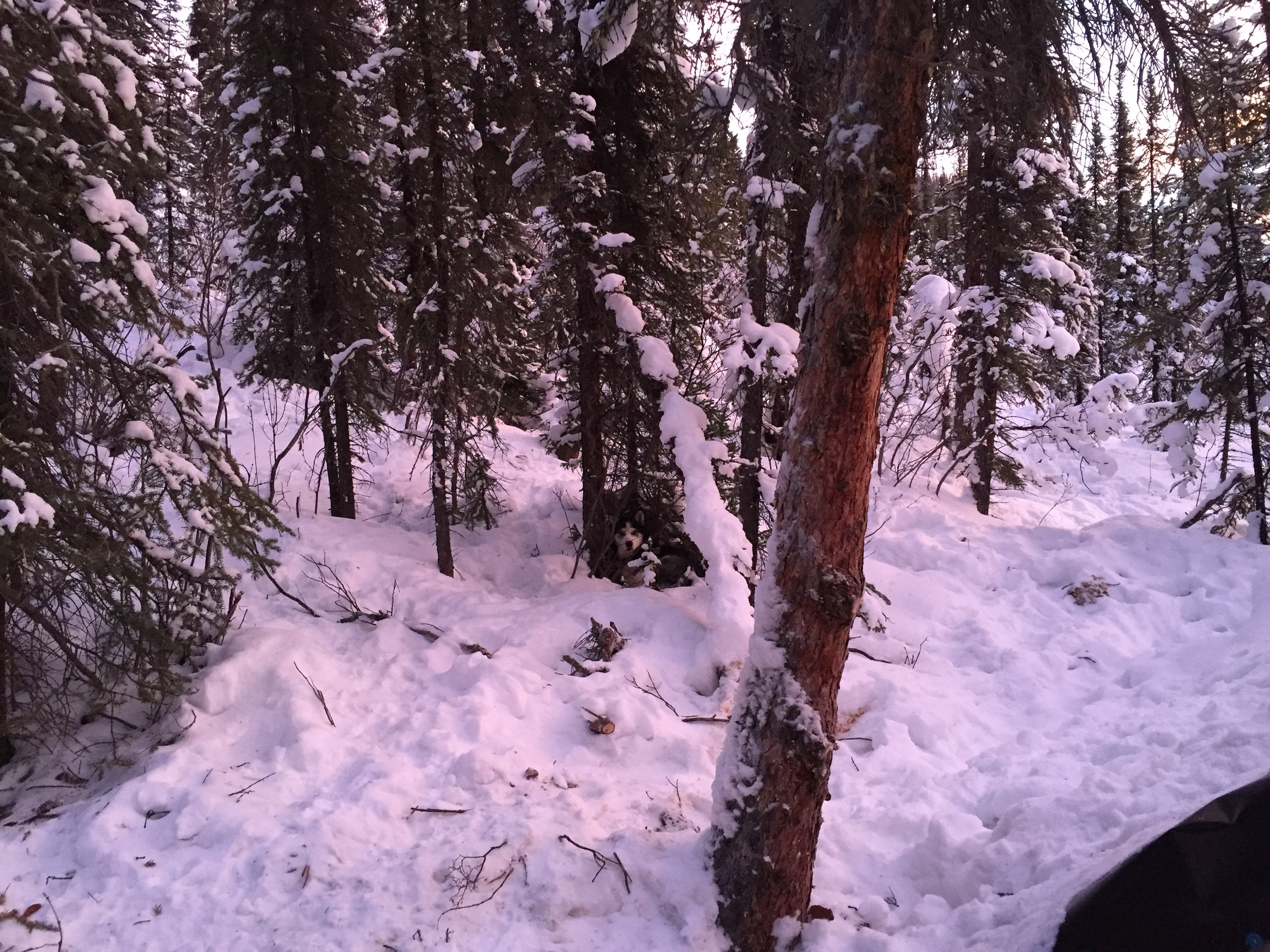 I spy Frosty the trapline dog in his favorite sleeping spot. Can you?