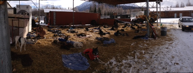If dropped dogs are not picked up immediately at the Iditarod headquarters at the Millinium hotel in Anchorage, they are held at a women's prison just outside of Anchorage.