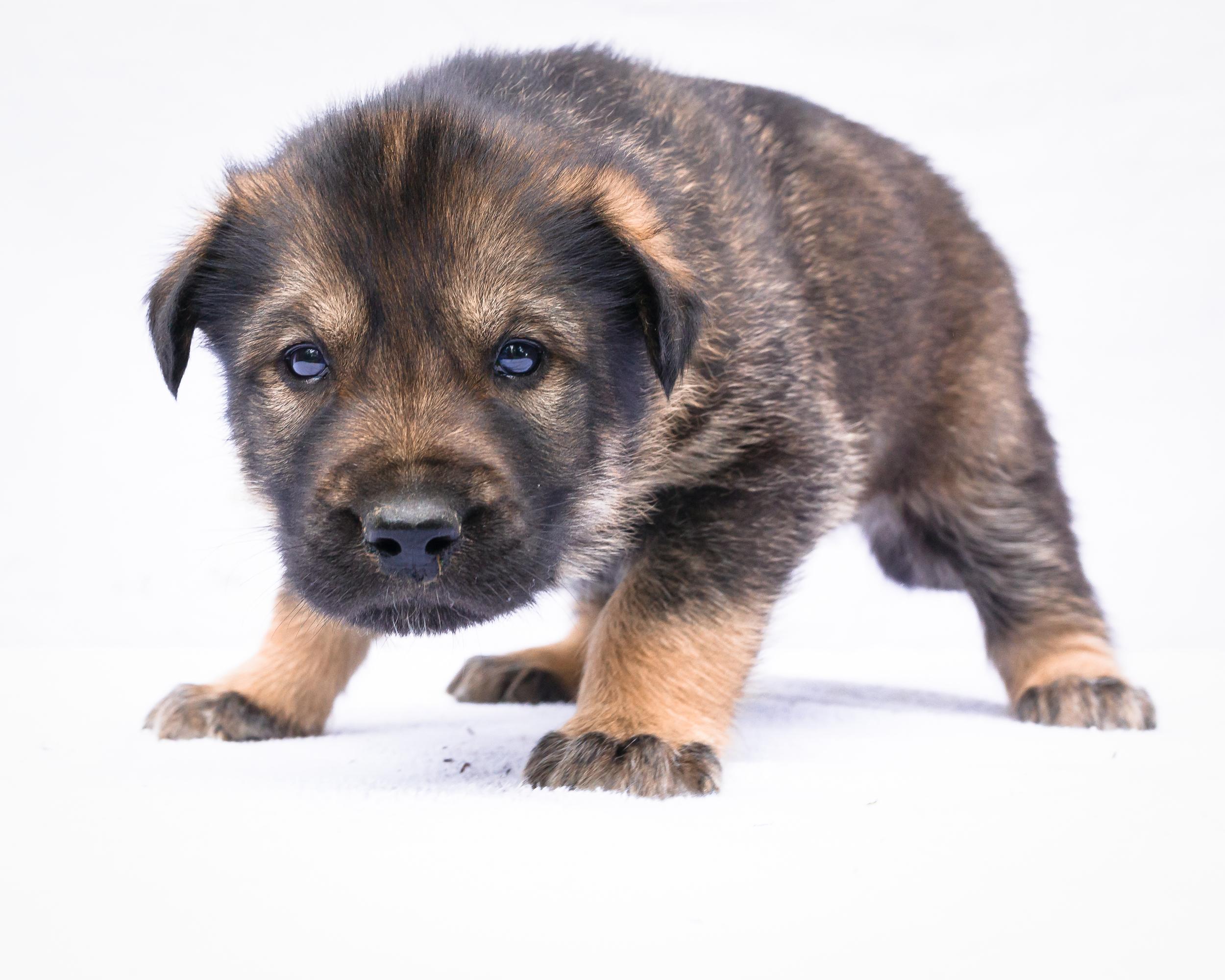 Yuker- Puppy