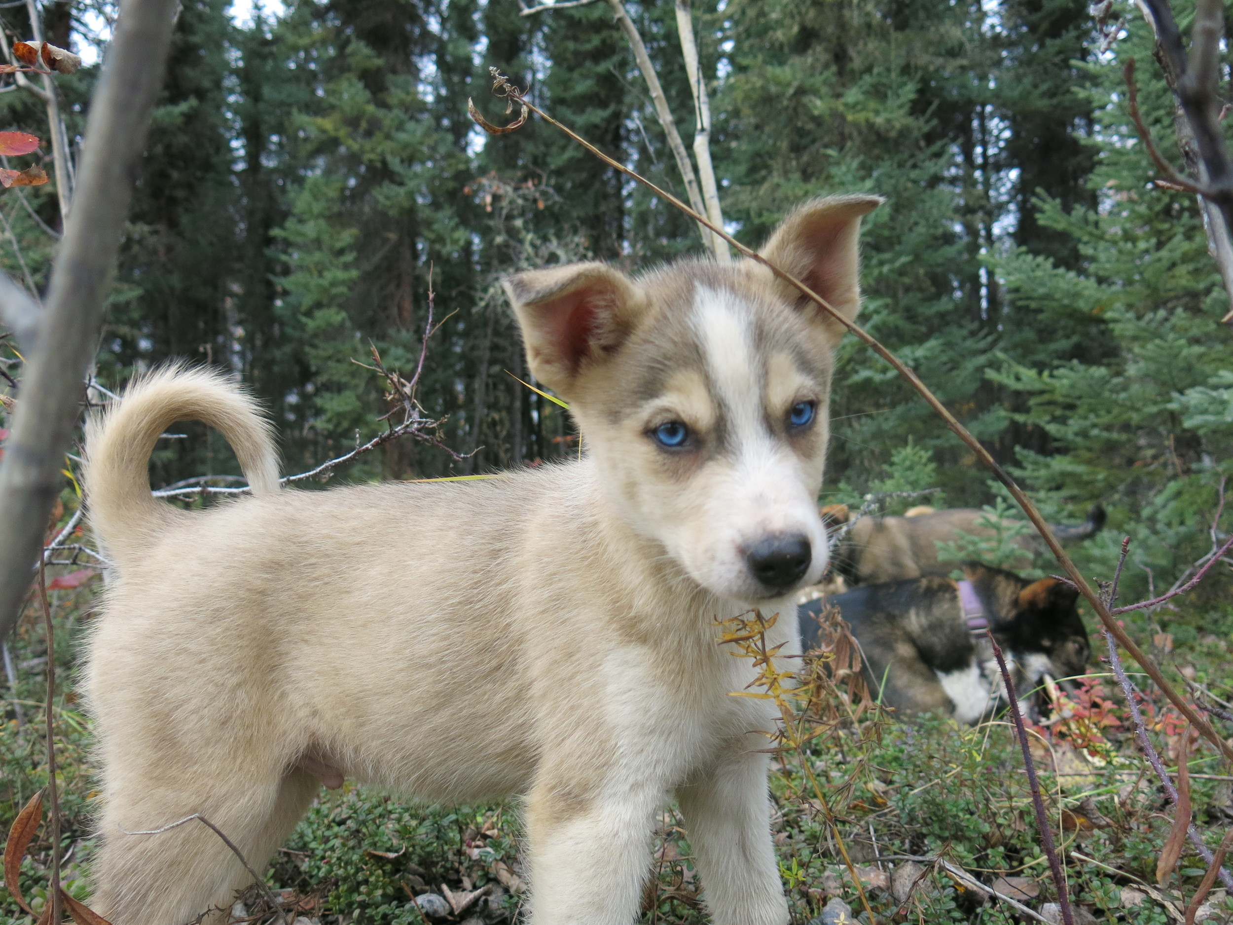 Wingman- Puppy