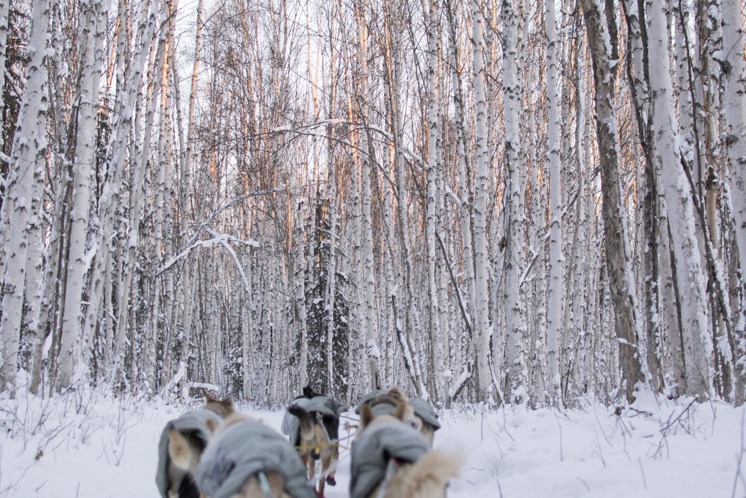Winding through a Birch forest