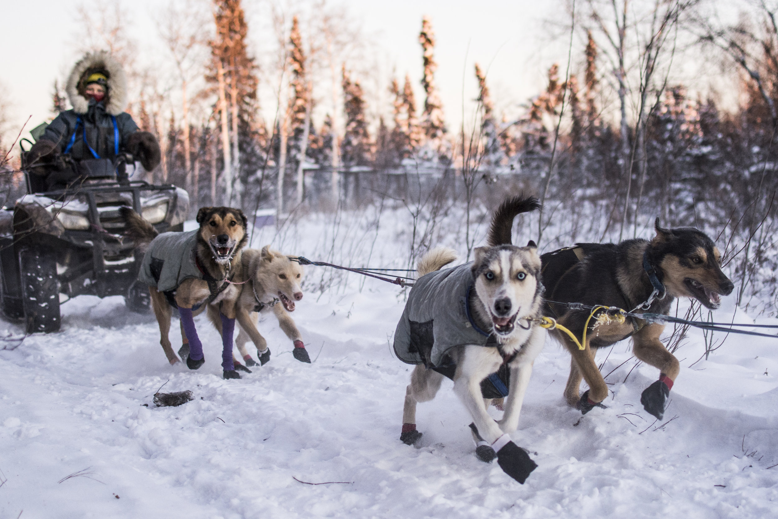 Wingman and Ewok followed by Rucu and Wombat. Currently we can run 8-10 dog teams on sleds, otherwise, we're on the ATVs.