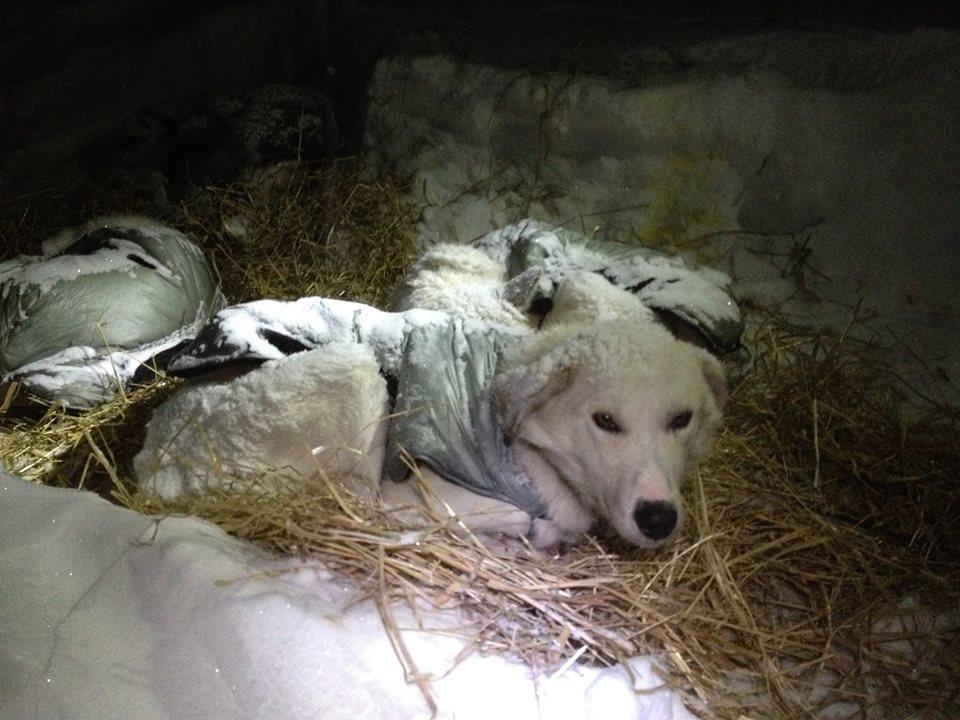 Fenton resting in the fresh snowfall.