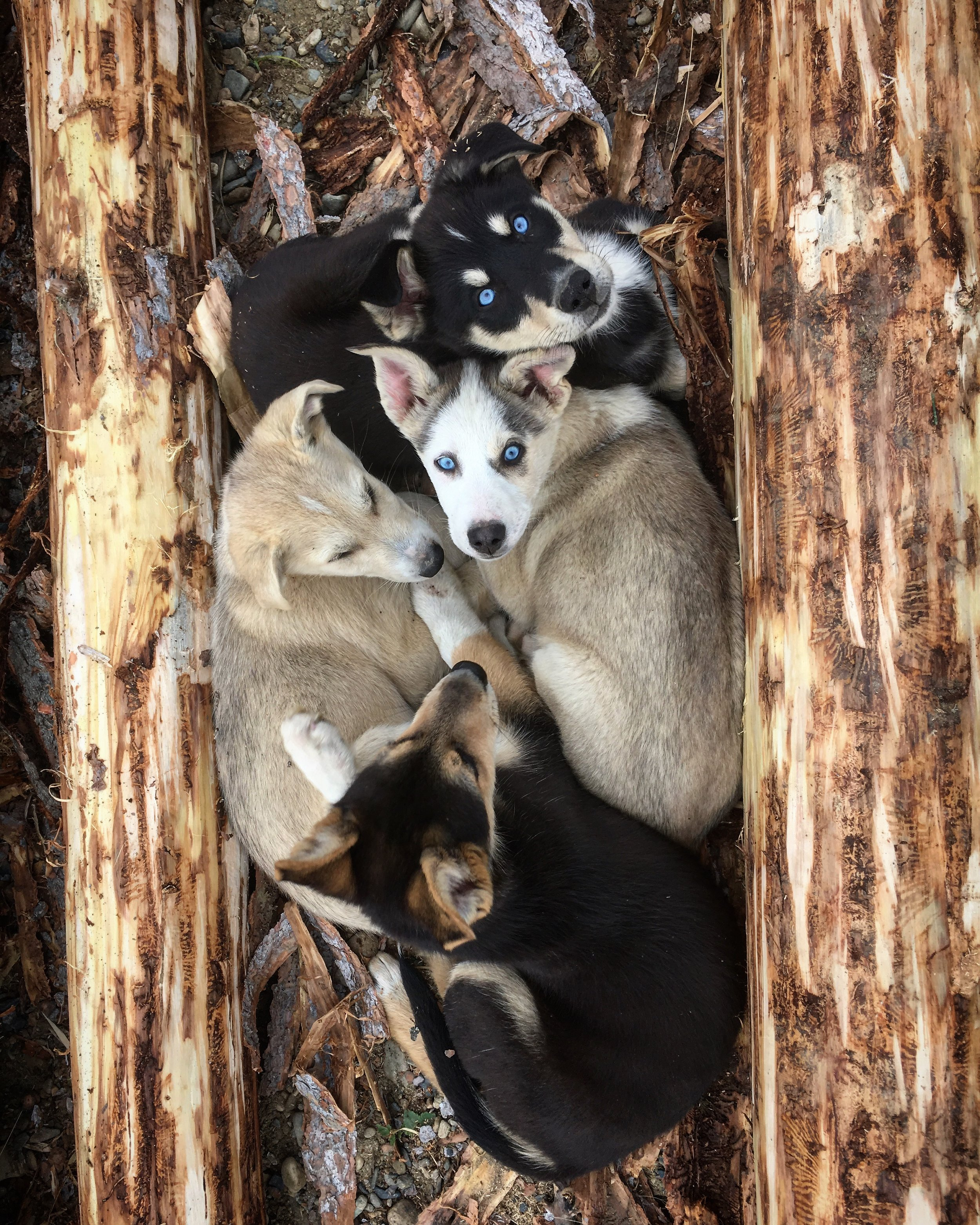 I'm babysitting these pups for friend Riley Dyche from Darkhorse Racing Kennel