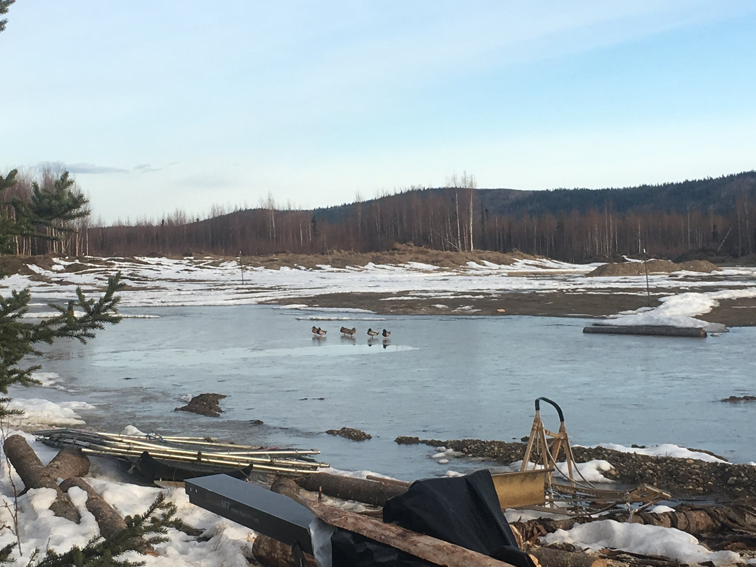 Ducks waiting for the ice to thaw in the morning.