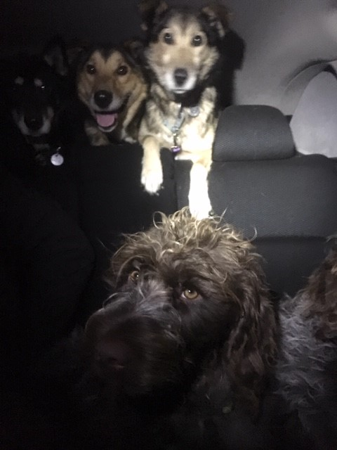 30 pups in car.jpg