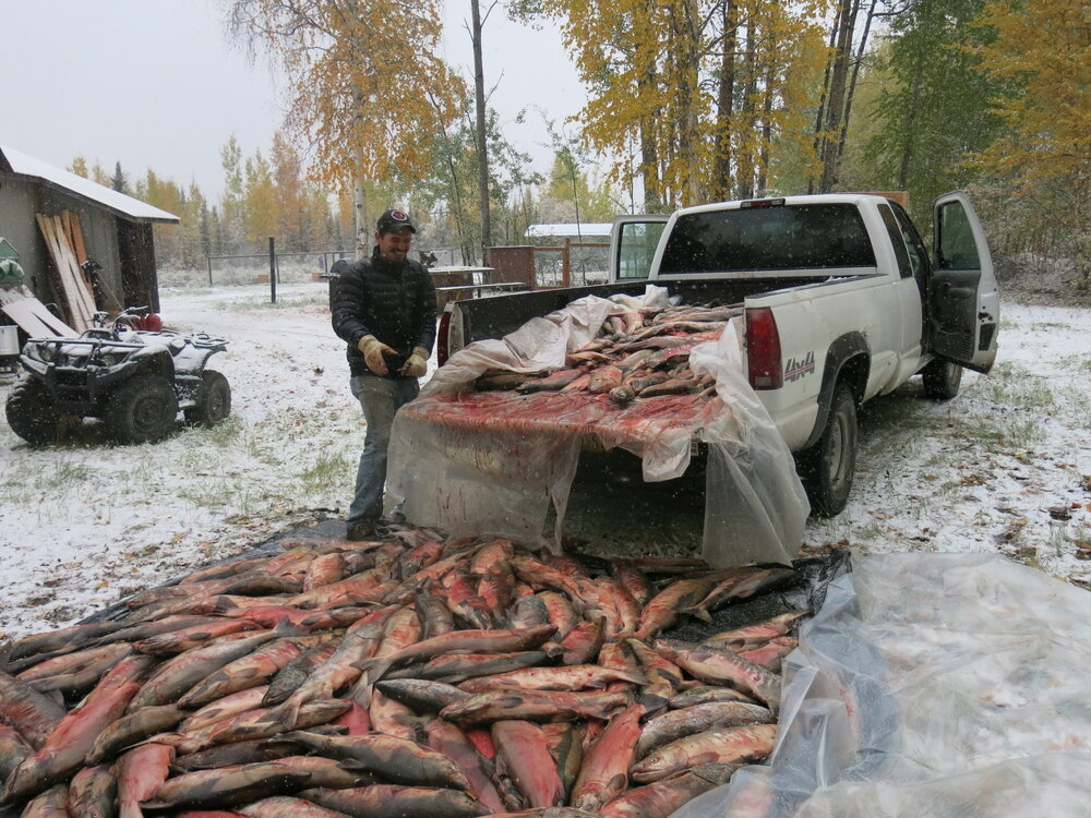 Salmon haul from several years ago. We actually got these chum from the Tanana river, but you get the idea.