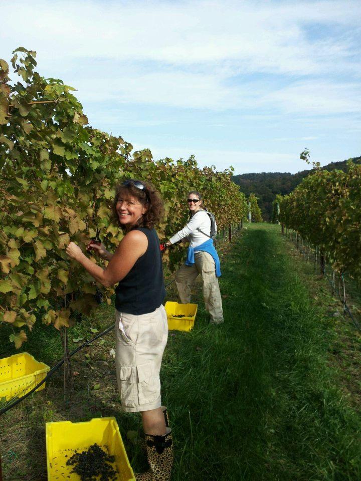 Harvesting grapes at Cave Ridge Vineyard