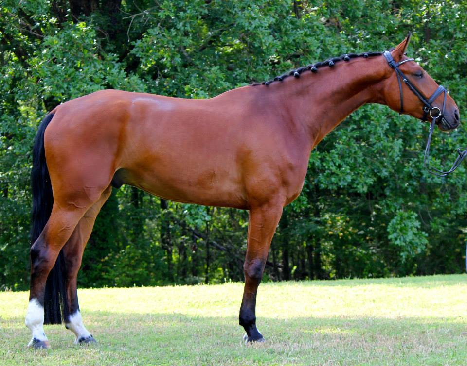Fidellio - 2009  Hanoverian Gelding by Fidertanz