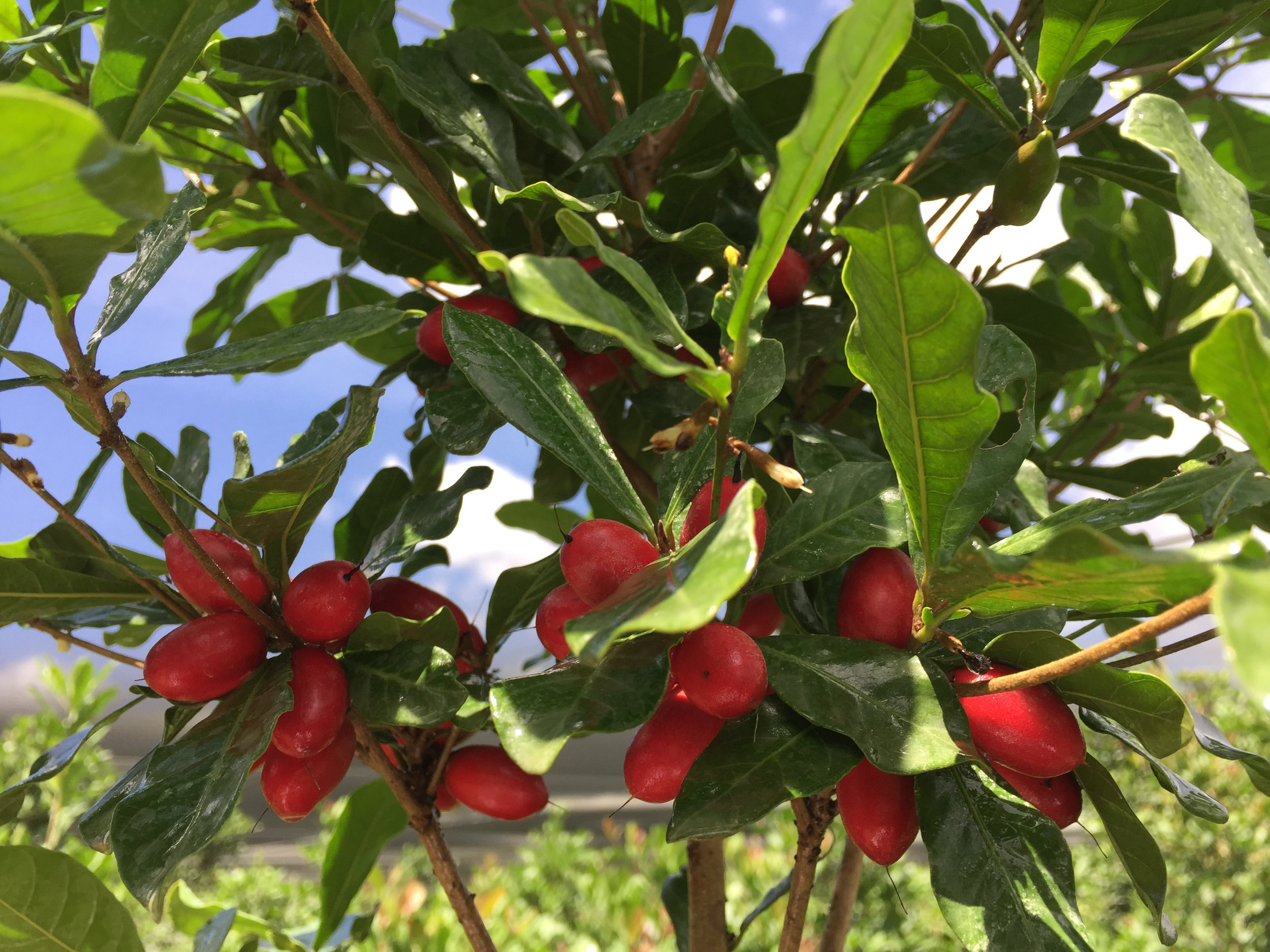 Miracle Fruit Farm Llc Fresh Miracle Berries More Miami Fl