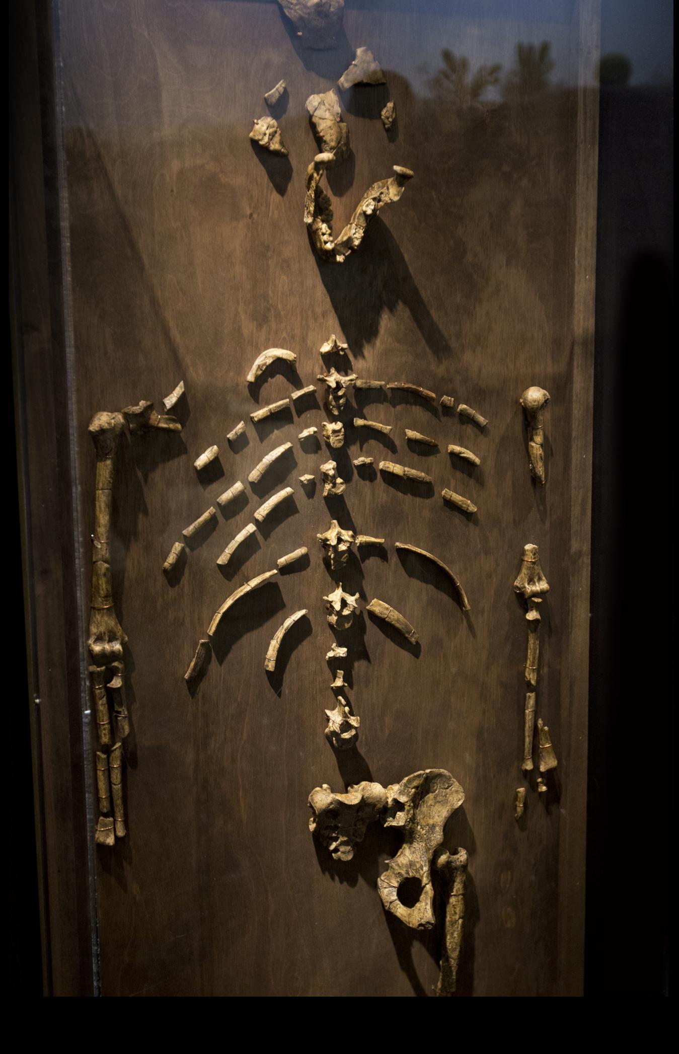 """"""" Lucy's bones ,"""" 2013."""