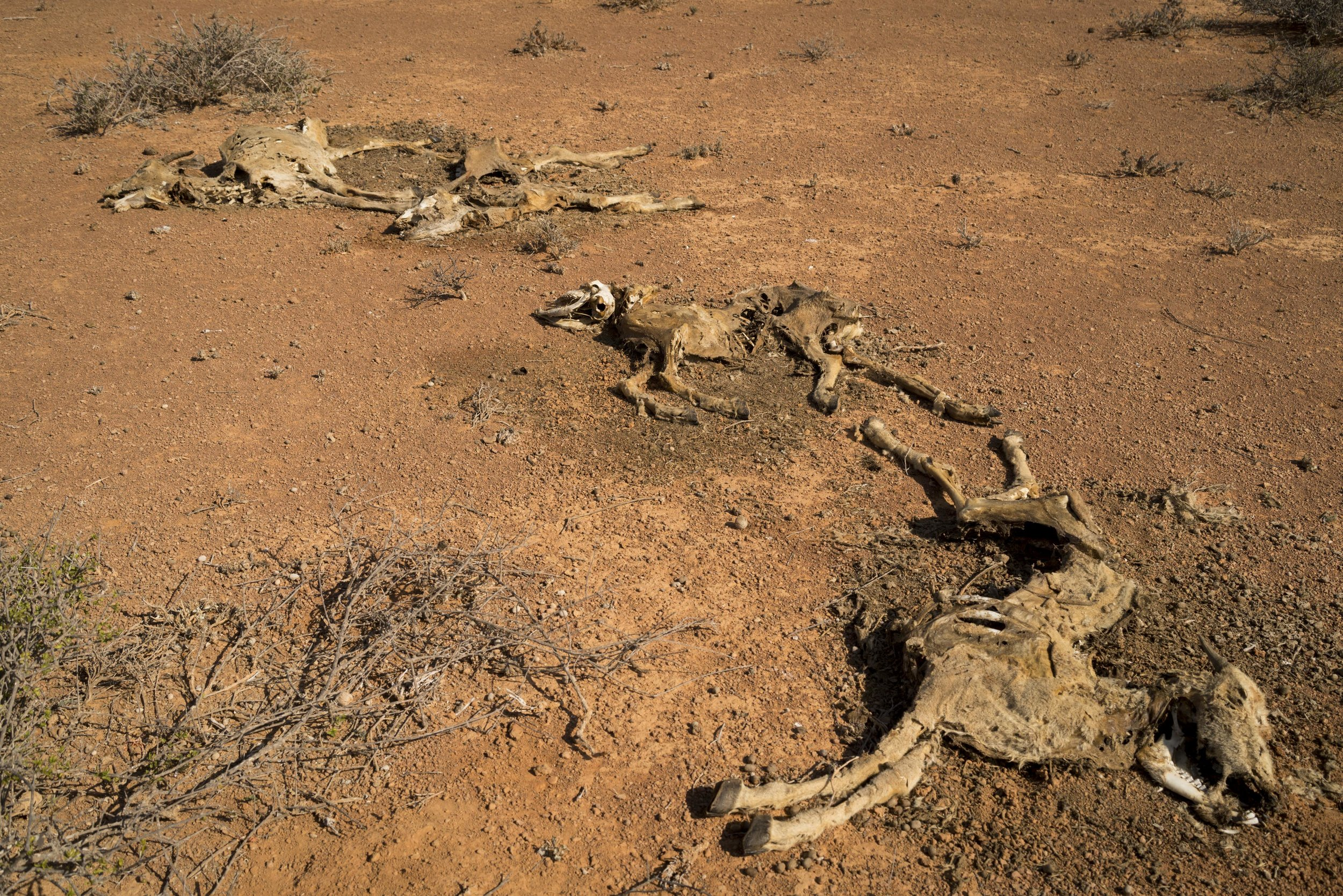 The remains of dead goats lie along the road where they were discarded by trucks that had attempted to transport them in the search of food and water in Puntland, northern Somalia, February 18, 2017.