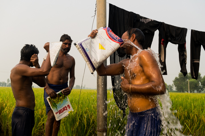 Day laborers bathe themselves using empty insecticide bags after spraying the rice fields for ten hours outside of Mari Mustafa, Punjab, India, October 3, 2016.