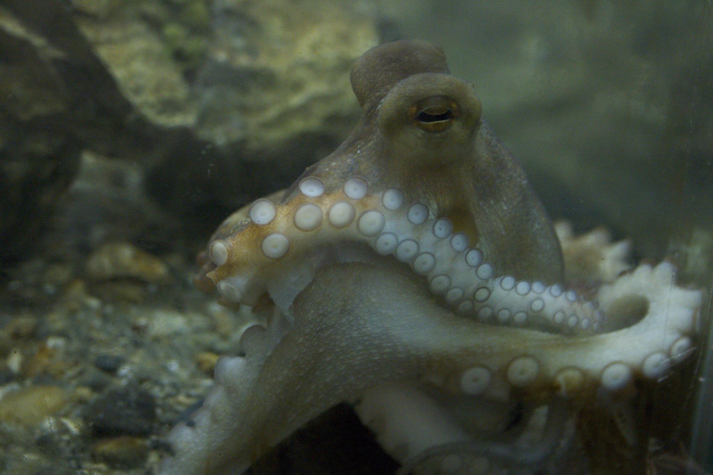 Atlantic Octopus.jpg