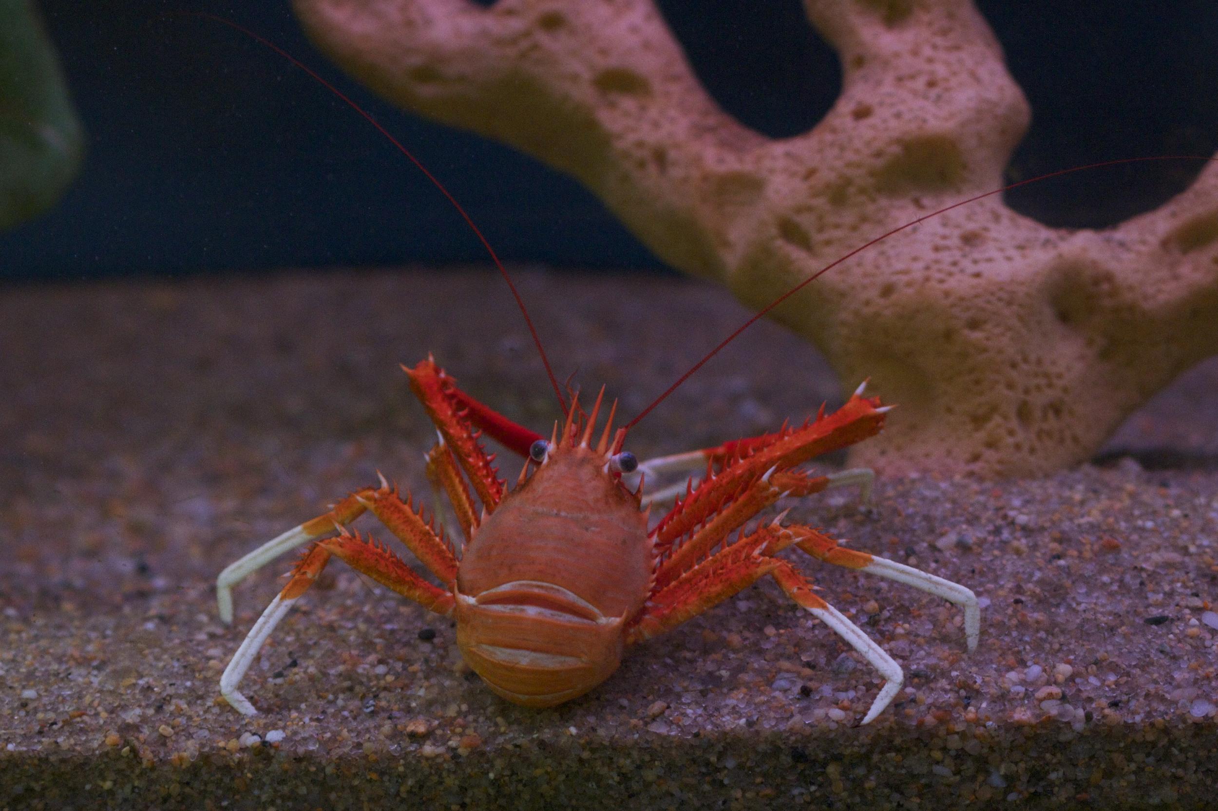 Squat Lobster.jpg