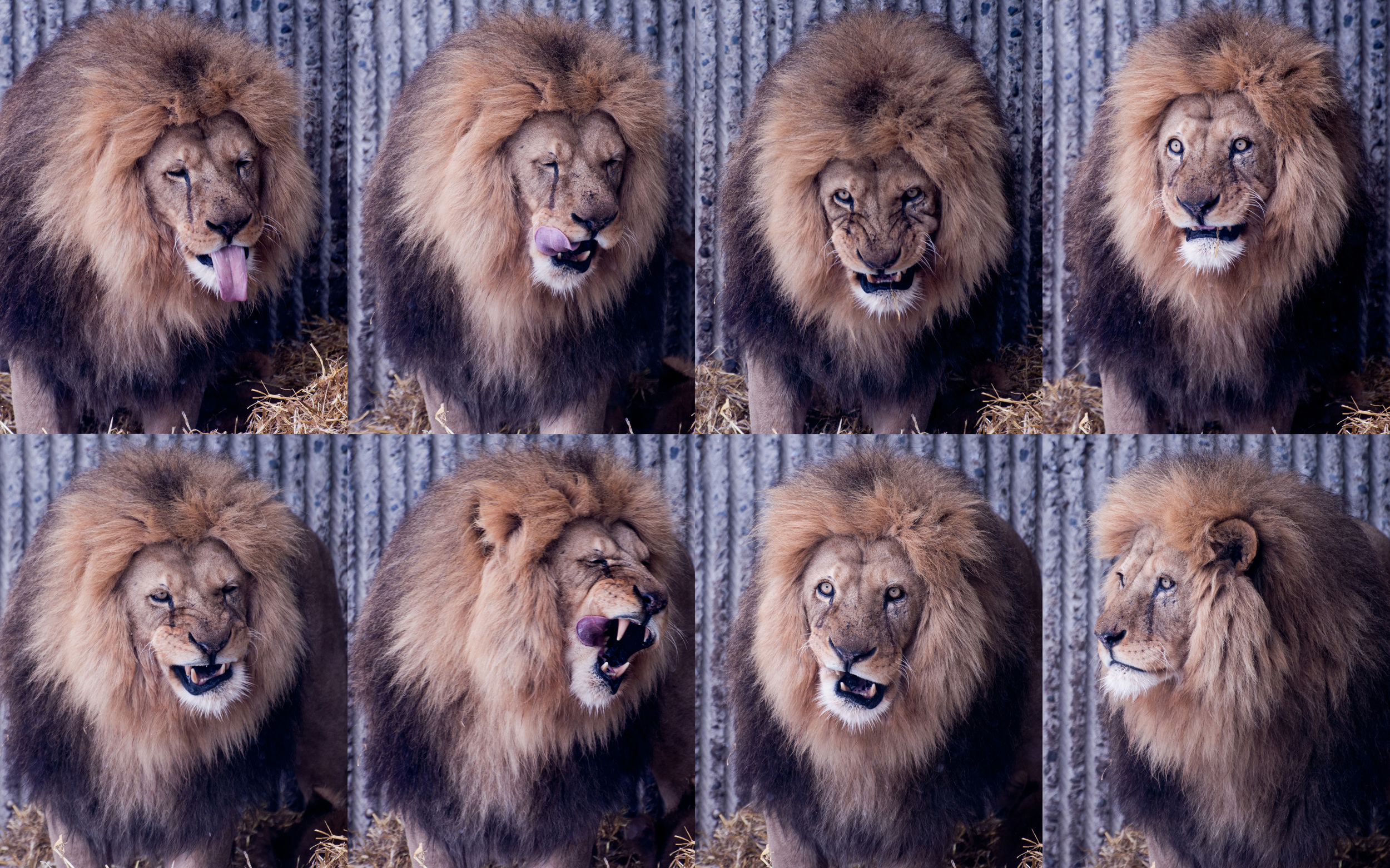 The many faces of Mr Lion.jpg