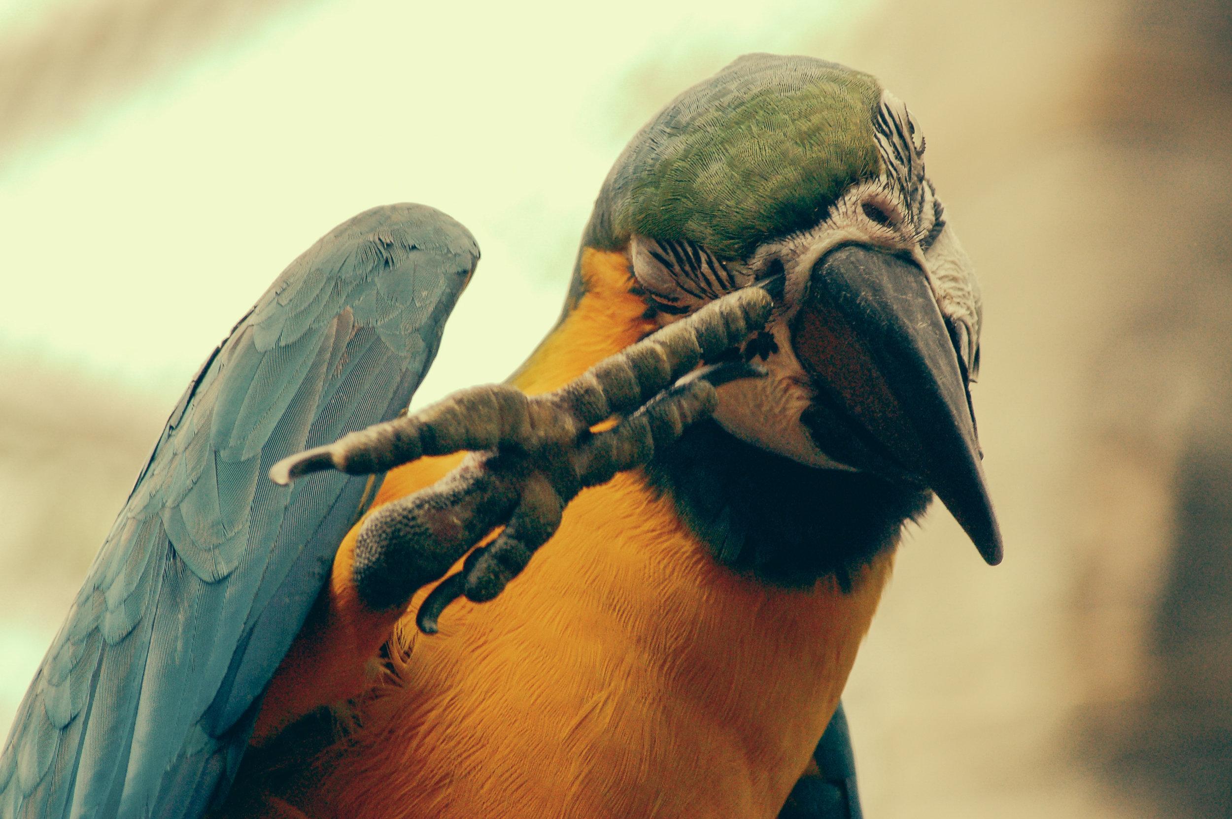 RR - papegøje.jpg