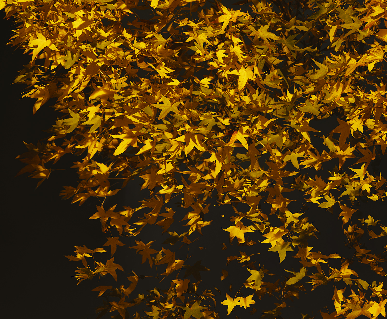 London Fields Yellow Leaf