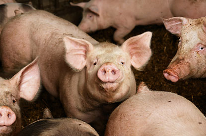 "Even on ""humane"" farms, pigs are intensively confined in as little as 5 square feet of space."
