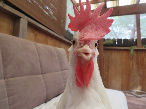 """Snow, a hen, is a """"she."""" Someone, not something."""