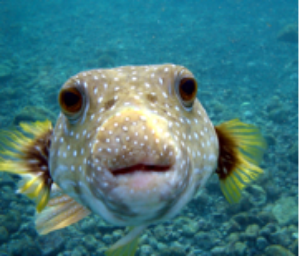 A blowfish saying 'hello' to the camera.