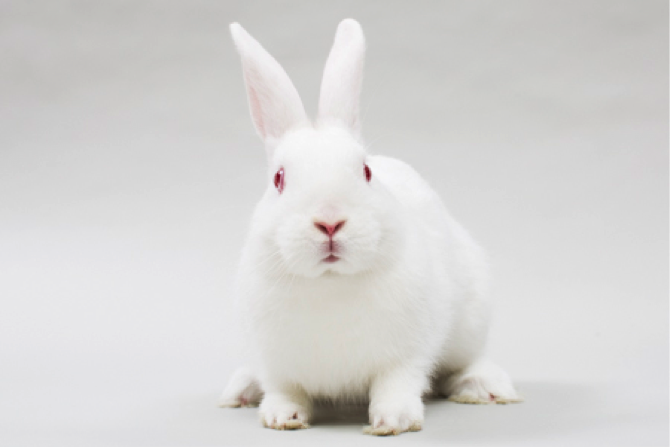 Rama , a well-loved New Zealand White rabbit at SaveABunny.