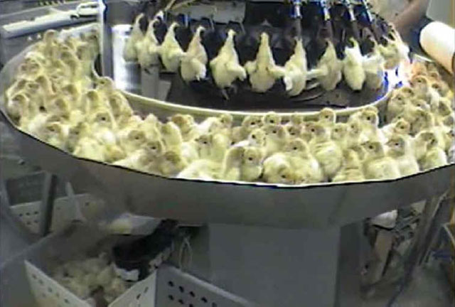 Turkey chicks search for their mothers the moment they are born. But on farms, instead of finding their mother, they are shoved face first into a horrifying machine.