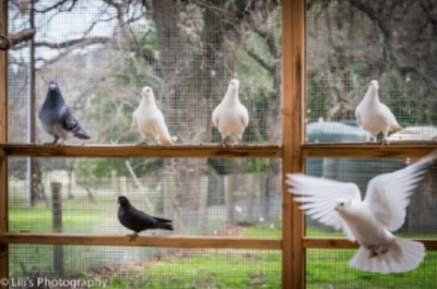 Some pigeons pictured here were rescued from the pigeon and/or squab meet industry.
