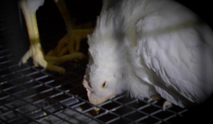Millions of sick birds are trampled to death every year on the floor of wire cages. But Emma (pictured here) was saved.