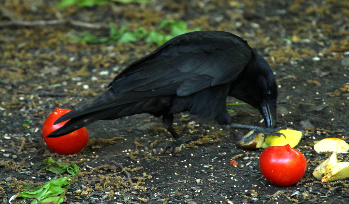A crow prepares to bury his food... and hide it somewhere else if someone is watching.