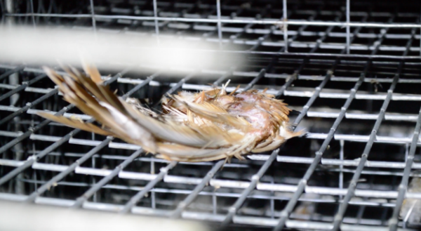 A grisly dismembered wing that DxE found in a cage-free farm. The consensus in the literature shows birds      suffering to death in cage-free farms at many times the rate    in caged facilities. The causes of death in cage-free farms are particularly brutal — e.g. cannibalism, maiming, or being buried alive.
