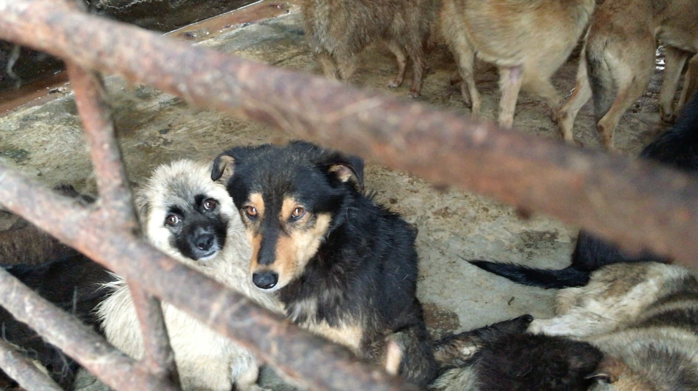 From behind the bars of their crates, two scared dogs await their slaughter.