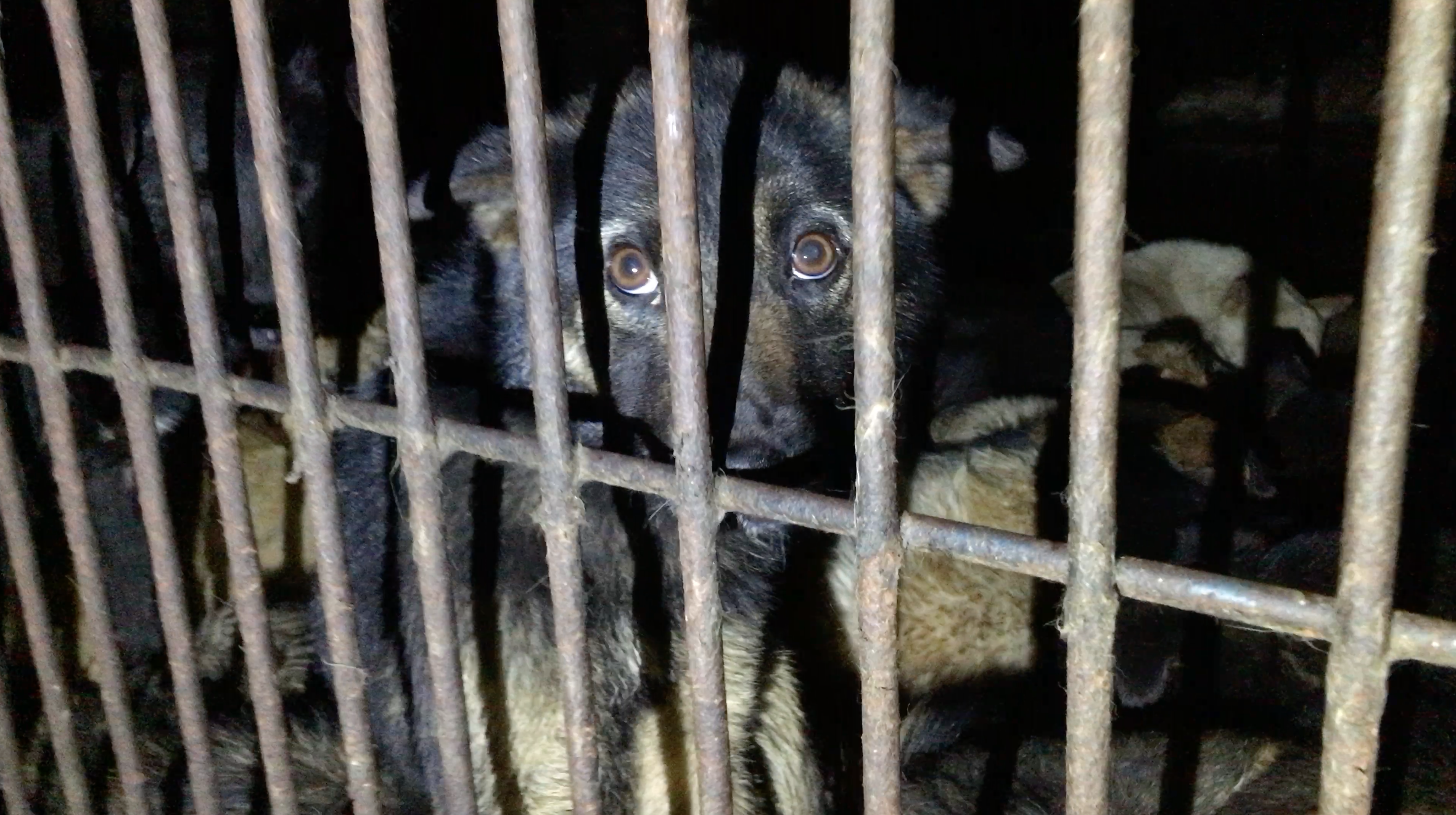 A brown-eyed German Shepherd puppy looks through the bars of a filthy cage.