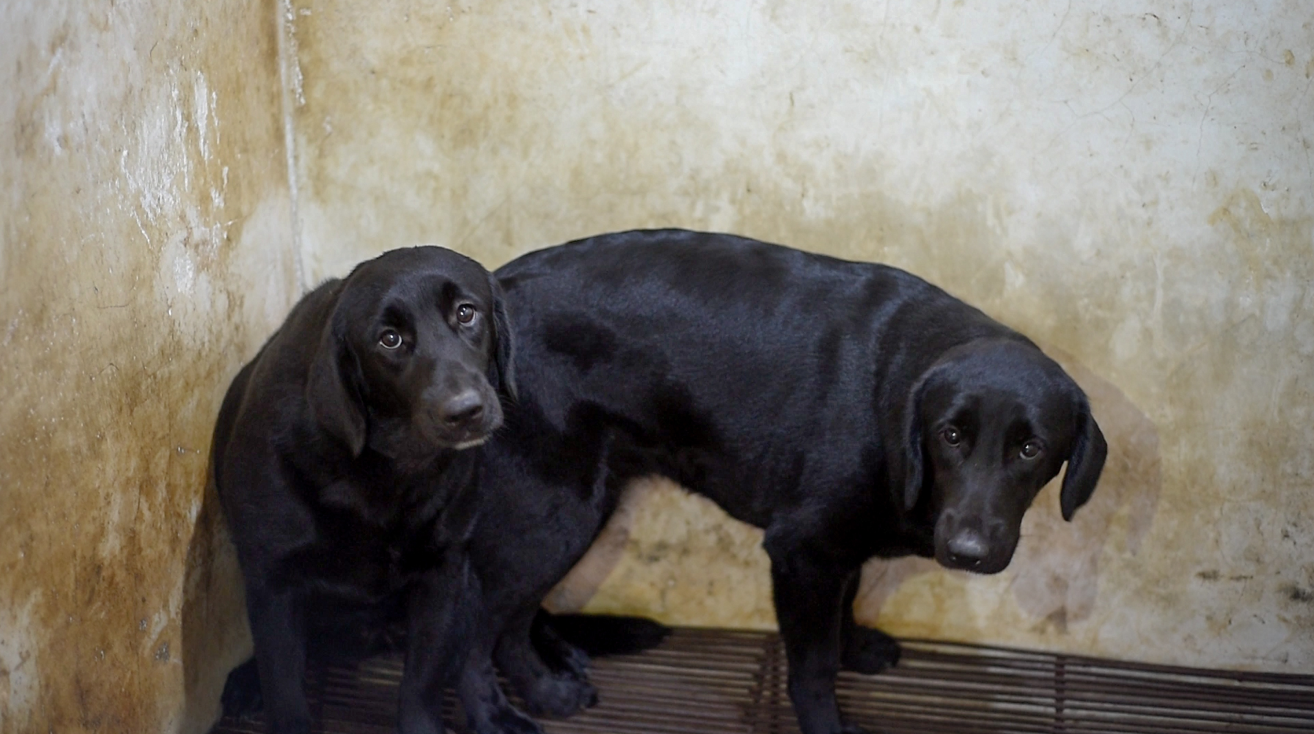 Stolen pets often get turned into meat, too. Here, two black Labradors await their slaughter.