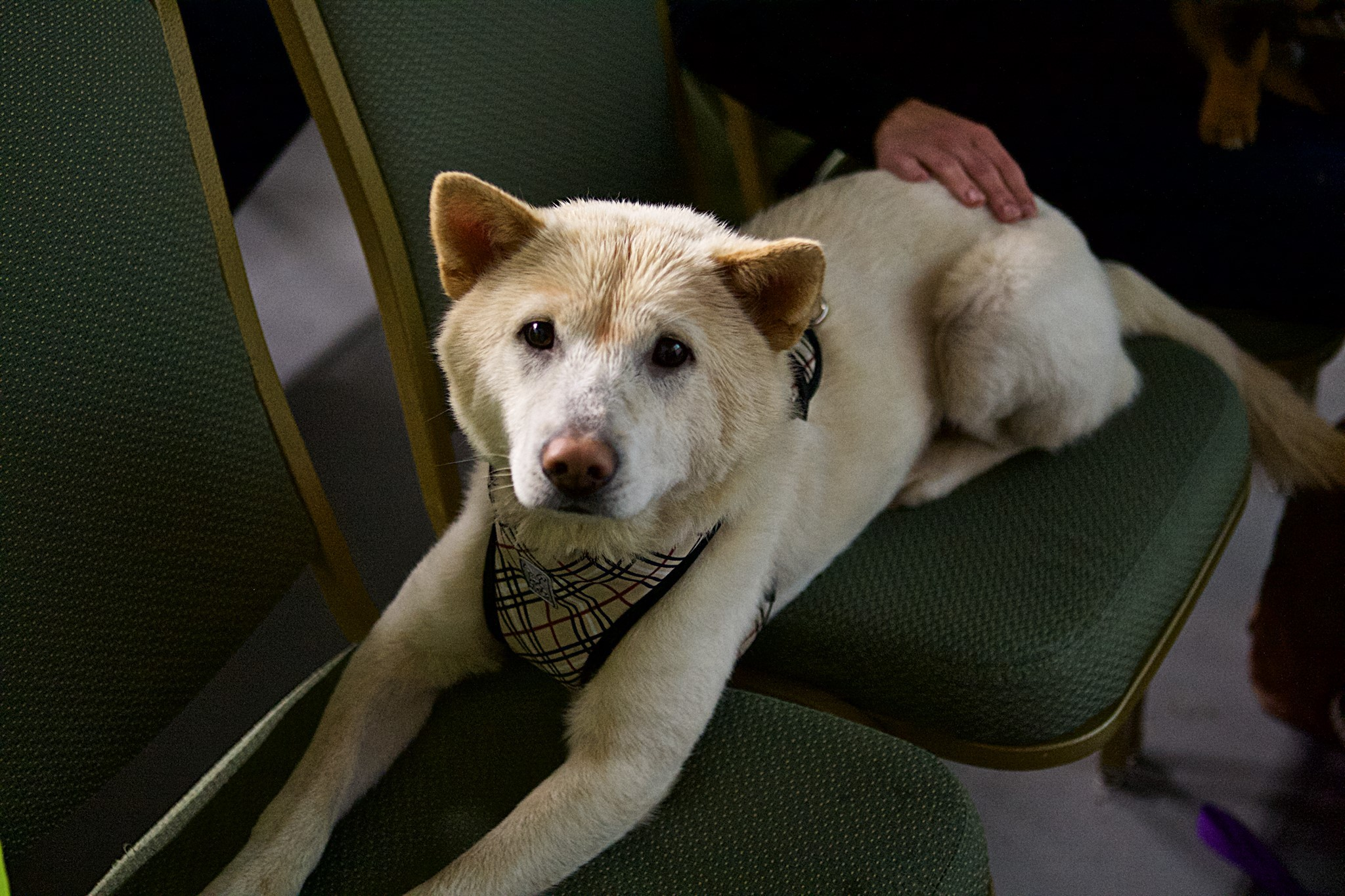 Pao, a dog rescued from Yulin dog meat farms, at the Berkeley Animal Rights Center.